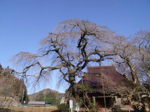 樹木医の桜診断が4/7『ゆうドキッ!』(奈良テレビ)で放映されます