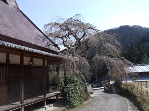 西光寺 城之山桜