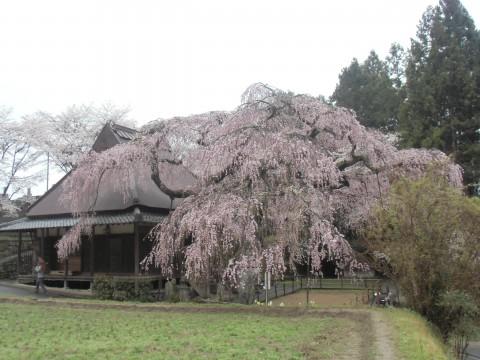 室生 西光寺 枝垂桜