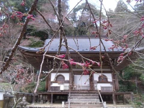 奈良 室生寺 さくら