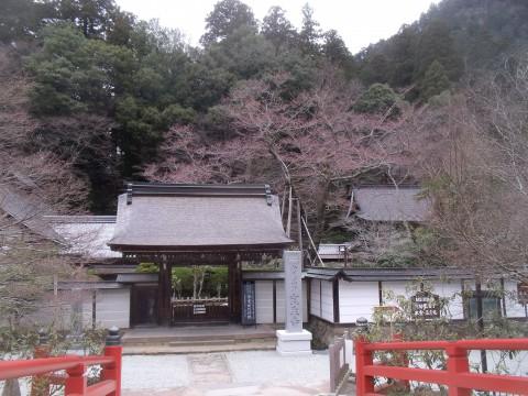 薄墨桜 室生寺