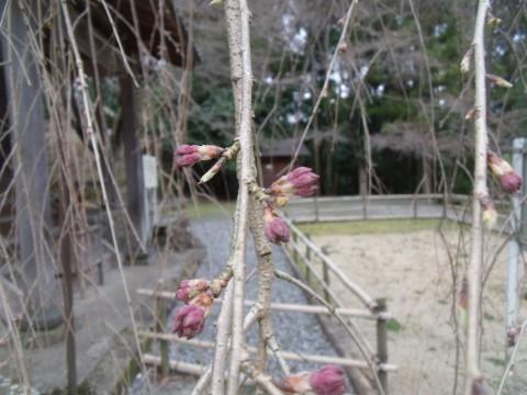 室生 枝垂桜