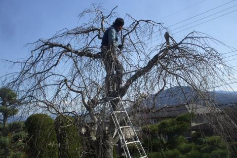 樹木医 桜治療