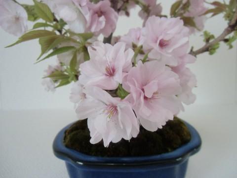 桜盆栽 南殿