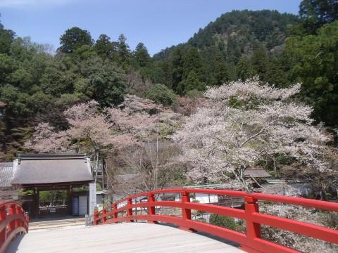 室生寺 サクラ