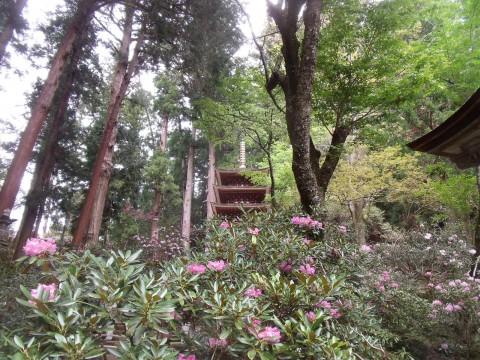 室生寺 シャクナゲ