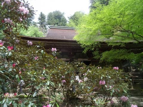 室生寺・本堂のシャクナゲ