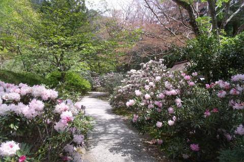 室生寺 石楠花