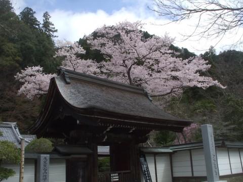 室生寺 さくら