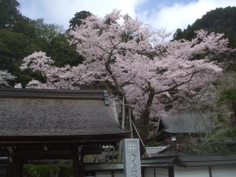 奈良室生寺のサクラ