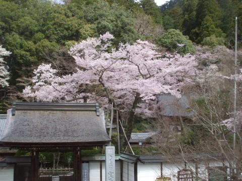 室生寺 淡墨桜