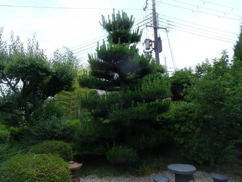松 緑摘み