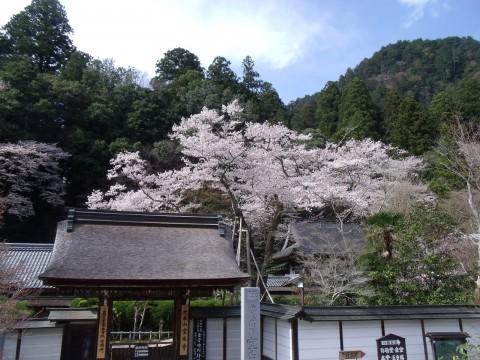 室生寺の薄墨桜
