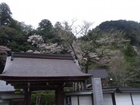 サクラ 室生寺