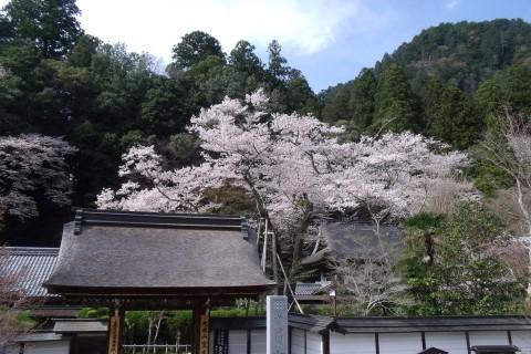 室生寺 桜