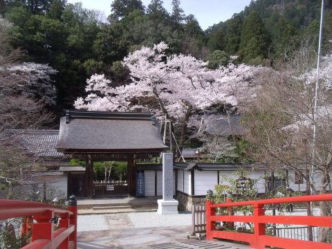 室生寺 薄墨桜