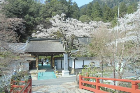 室生寺でお花見