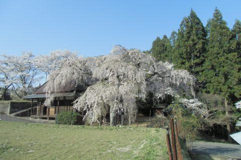 室生・西光寺のサクラ